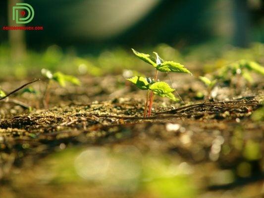 cây nhân sâm còn nhỏ