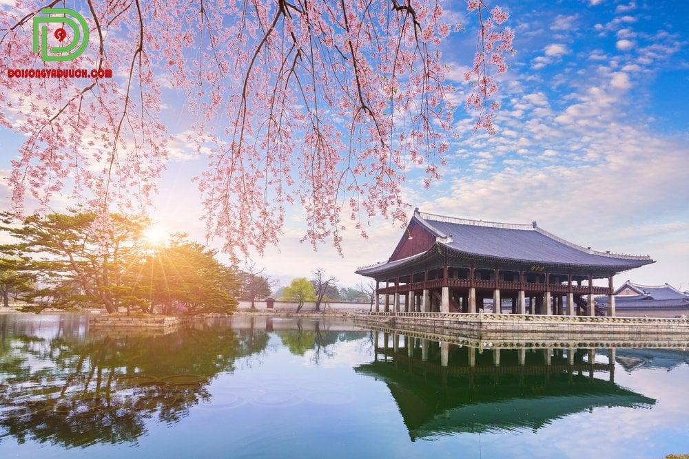 đền gyeongbokgung cùng hoa anh đào